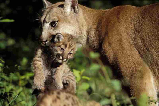 Female cougars tend to remain in the general area of their birth, while male cougars have been known to travel far.