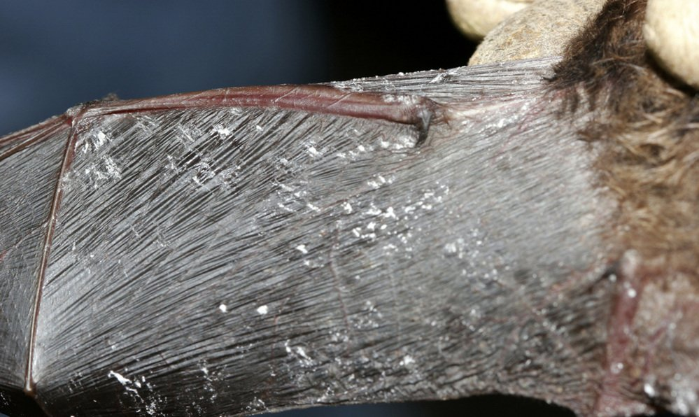 The Associated Press / 2008 file photo One New Hampshire location that had 982 bats in 2009 had 281 a year later. In this photo provided by the New York Department of Environmental Conservation is a little brown bat with fungus on its wing membrane.