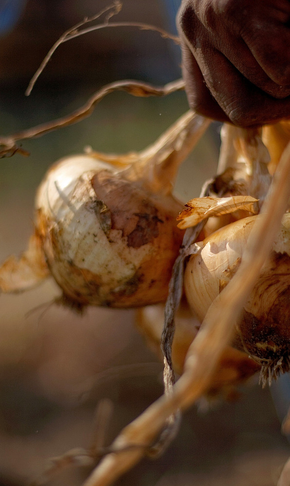 Vidalia onions are snipped in Lyons, Ga. Farmer Delbert Bland wants to determine when it's best to harvest his.