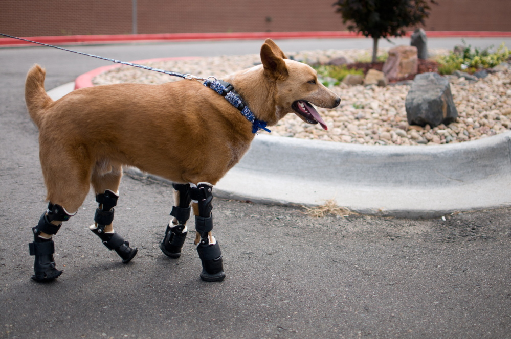 Tthis August 26, 2011 photo provided by OrthoPets, shows Naki'o, a red heeler mix breed, the first dog to receive four prosthetic limbs in Denver, Colo. Naki'o was found in the cellar of a Nebraska foreclosed home with all four legs and its tail frozen in puddles of water-turned-ice. What frostbite didn't do, a surgeon did, amputating all four legs and giving him four prosthetics.