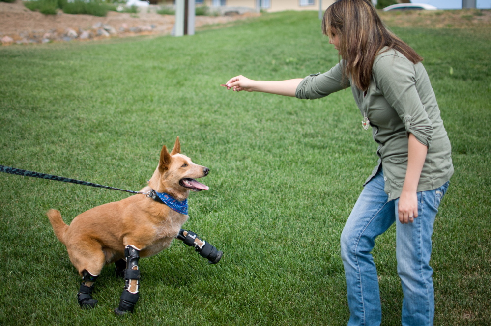 In this August 26, 2011 photo provided by OrthoPets, shows Veterinarian Christie Pace playing with Naki'o, a red heeler mix breed, the first dog to receive four prosthetic limbs,