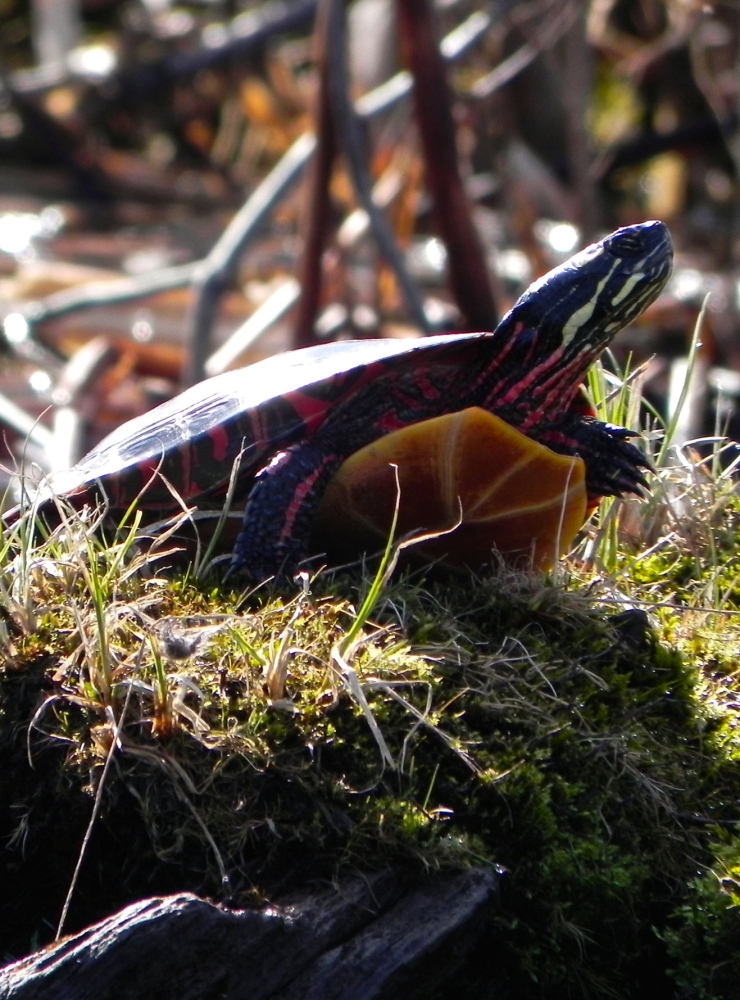 A painted turtle takes in the sun while perched upon a tussock along the Dead River, a haven for wildlife.
