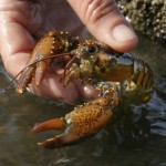 A scientist holds a juvenile lobster while doing research on Orr's Island in Harpswell, Maine. A University of Maine survey of 11 locations in the Gulf of Maine indicates the number of young lobsters has declined by more than half from their 2007 levels.