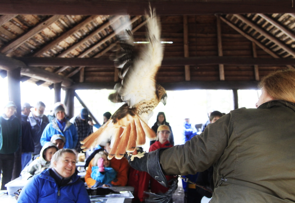 Chaplin, a red-tailed hawk from Wind Over Wings in Dresden, ruffles his feathers while settling on the arm of Helen Frazier of Scarborough during a live birds of prey presentation at Bradbury Mountain State Park in Pownal on Saturday. Chaplin, who is originally from Chaplin, Conn., was unintentionally shot and lost part of a wing, and came to Wind Over Wings when he was about 2 years old.