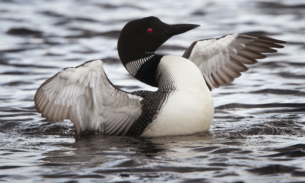 Lead fishing sinkers can pose a threat to loons, like the one pictured here in a 2012 photo from Cupsuptic Lake. Fortunately, biodegradable alternatives are available.