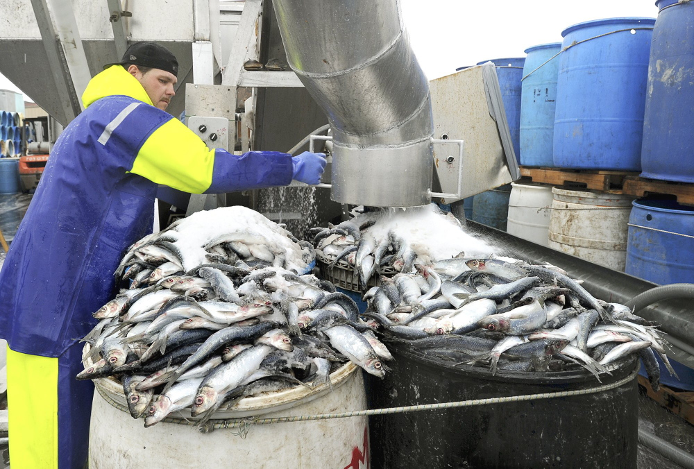 Mike Randall unloads and salts herring in barrels at Dropping Springs Bait Co. in Portland in 2011. The New England Fishery Management Council last week voted to endorse new rules for herring trawlers.
