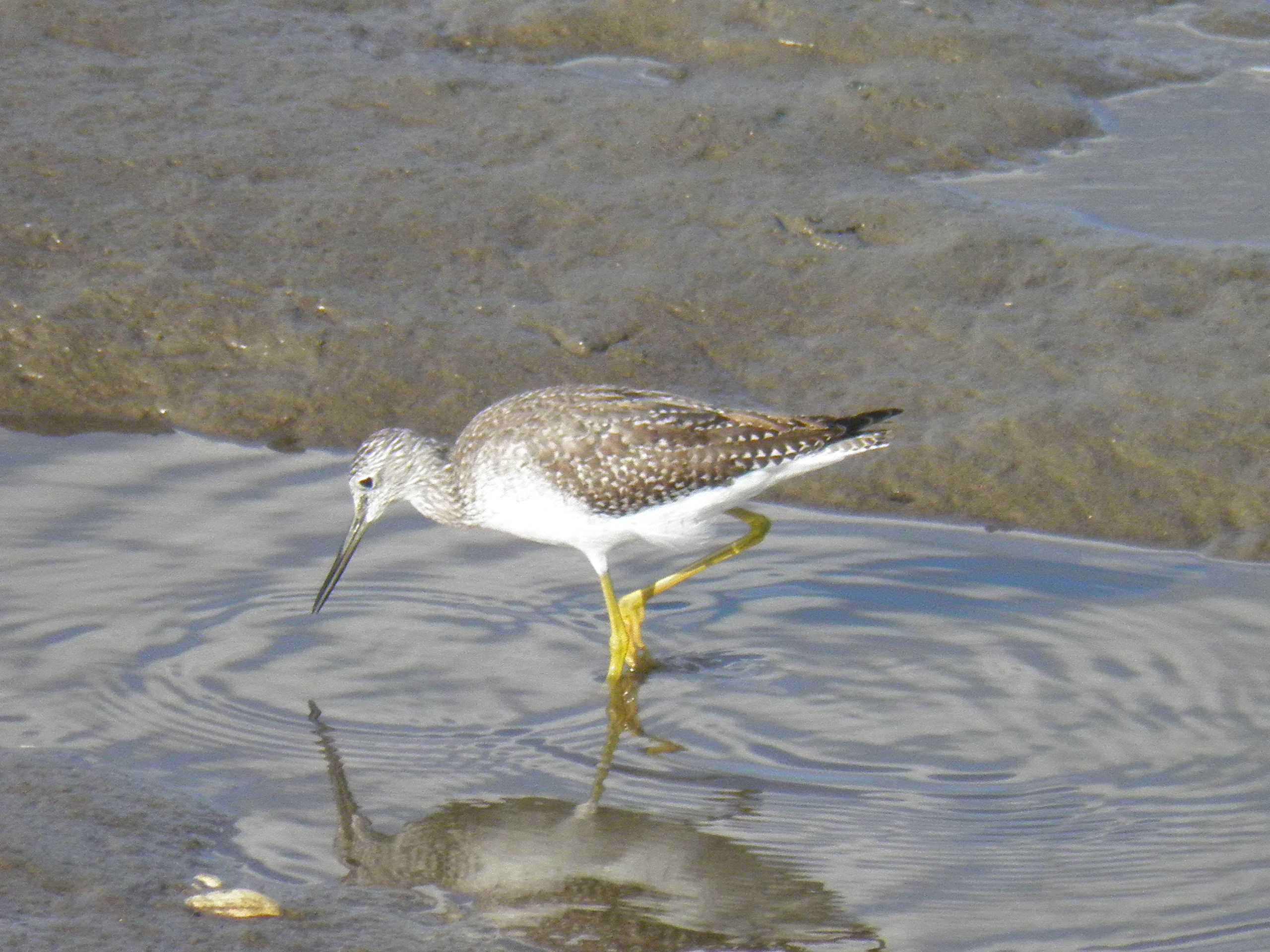 This lone Lesser yellowlegs that I saw in Wells this week is probably finding plenty to eat, since he's not competing with the 3 or 4  of his kind that he/she is usually with. I saw lots of them at the Scaroboro marsh Sunday.  A Red- tailed Hawk actually swooped down over them, and them, and they must have seen his shadow, and scurried into the tall grasses of the marsh. Score: Hawk 0  Yellowlegs 0. Joy Page, Scaroboro.