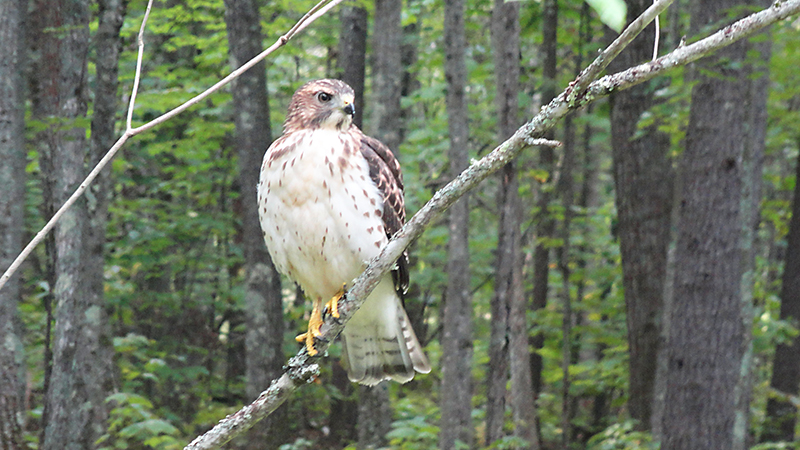 This hawk is a frequent visitor to a reader's backyard in Windham. Catherine Brown/Windham