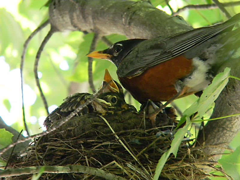 Haley Cox, 17, of Limerick, captured this moment between a robin and nestlings at her grandmother's home in Hollis. Haley Cox/Limerick