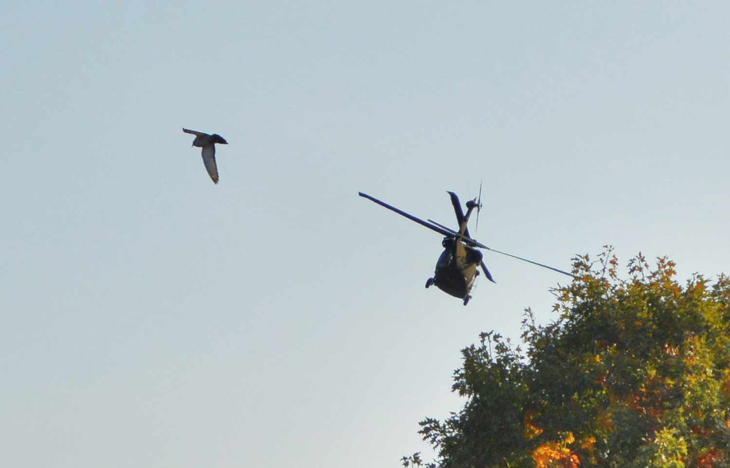 Black Hawk's up, and so is a pigeon that wisely defers to the helicopter landing near South Portland's Clark Pond, where Brian Lovering noted the convergence.