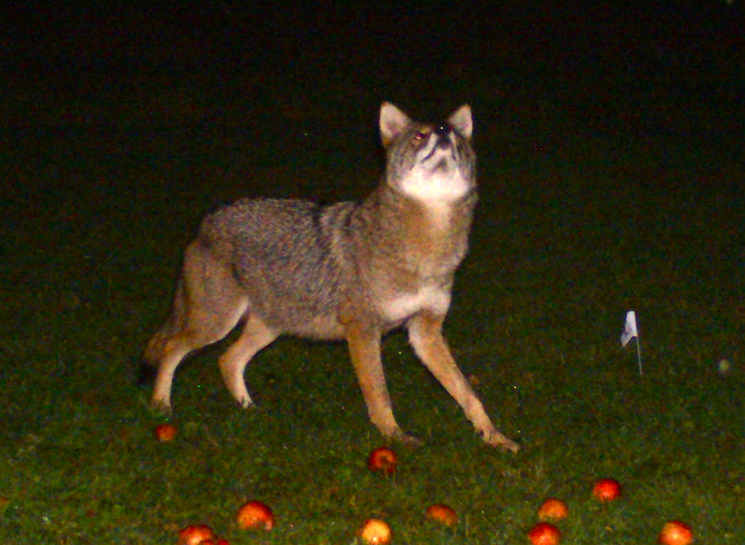 If an apple a day keeps one healthy, this coyote should be howling with content as the pickings are ripe and plentiful in Bruce Stillings' Falmouth yard.