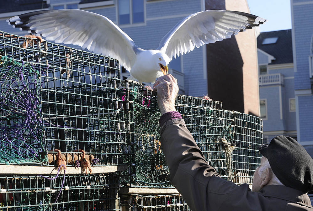 Retired lobsterman for the last 5 years, 90 year old Leland Merrill visits his buddies on Widgery Wharf in Portland and feeds gulls almost every day.