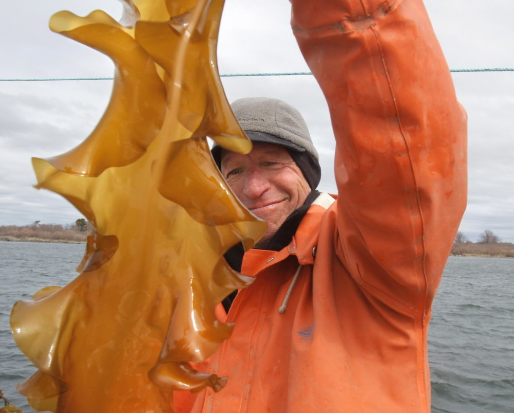 "Tollef Olson checks on some kelp growing off Little Chebeague Island. ""Look at all this food!"" he said."