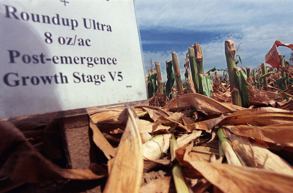 A sign marks one of the rows of genetically engineered corn that was chopped down in the night either as a very pointed prank or in an act of ecoterrorism in August 1999 at the University of Maine at Orono. The crop was being studied in part to test its success against quackgrass, a weed that plagues Maine farmers.