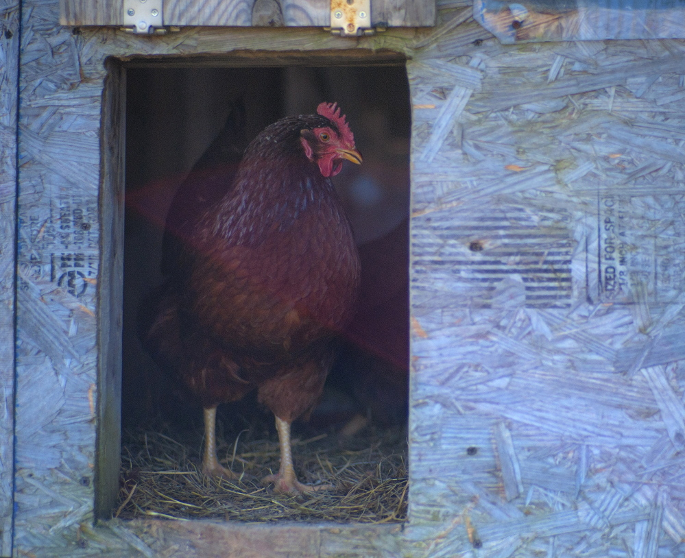 A Rhode Island Red hen at the Witter Farm in Orono