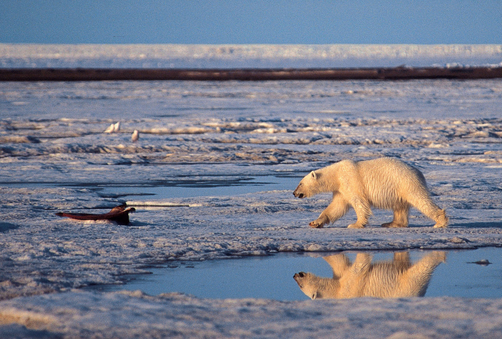 A polar bear roams the Arctic National Wildlife Refuge. Government scientists predict that two-thirds of the world's polar bears will be killed off by 2050 – and completely gone from Alaska – because of thinning sea ice caused by global warming. The decade starting in 2000 was the hottest on record, and 2012 was the hottest year ever recorded in the nation's history.