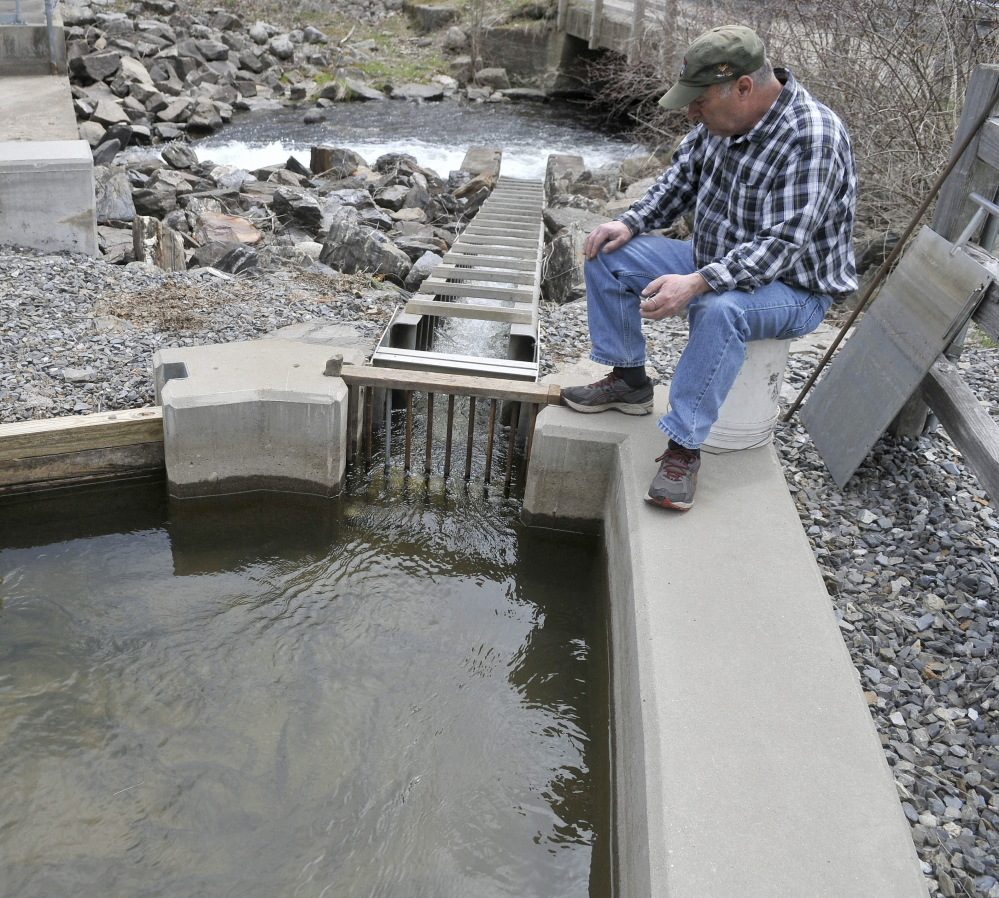 Donald Lettre counts alewives as they climb the small fish ladder from Seven-Mile Stream to Webber Pond in Vassalboro on Friday.