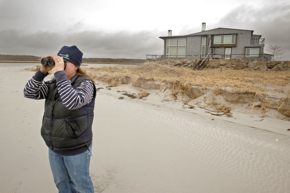 """Laura Minich Zitske, a biologist who directs Maine Audubon's piping plover and least tern project, scans Goose Rocks Beach in Kennebunkport for endangered birds. Plovers, she said """"need the beach to survive."""""""
