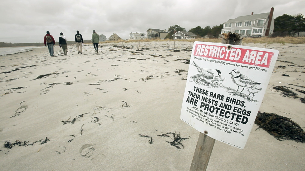 A sign signals the presence of piping plover nests as workers with Maine Audubon walk Goose Rocks Beach in Kennebunkport, looking for active nesting sites. The town prohibits dogs on the beach during the day and requires them to be leashed at all other times.