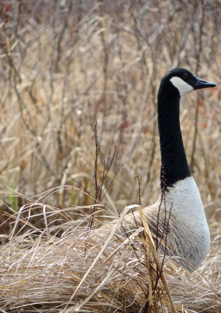 Canada geese nest on shore.