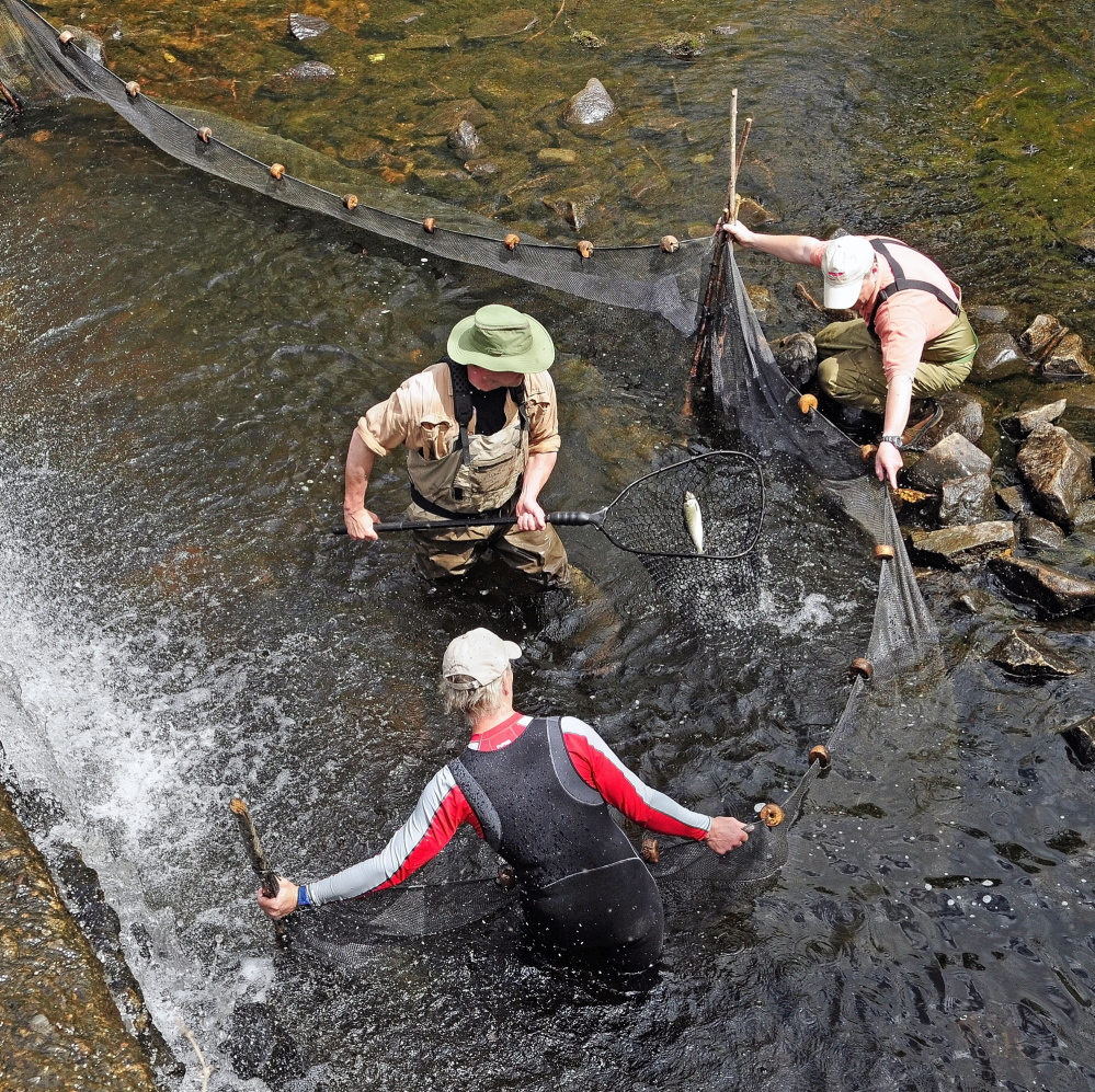 Slade Moore, center, nets an alewife while Gary Schaumburg, bottom left, and John Crowley hold a seine net to keep them corralled near the dam in Togus Stream.