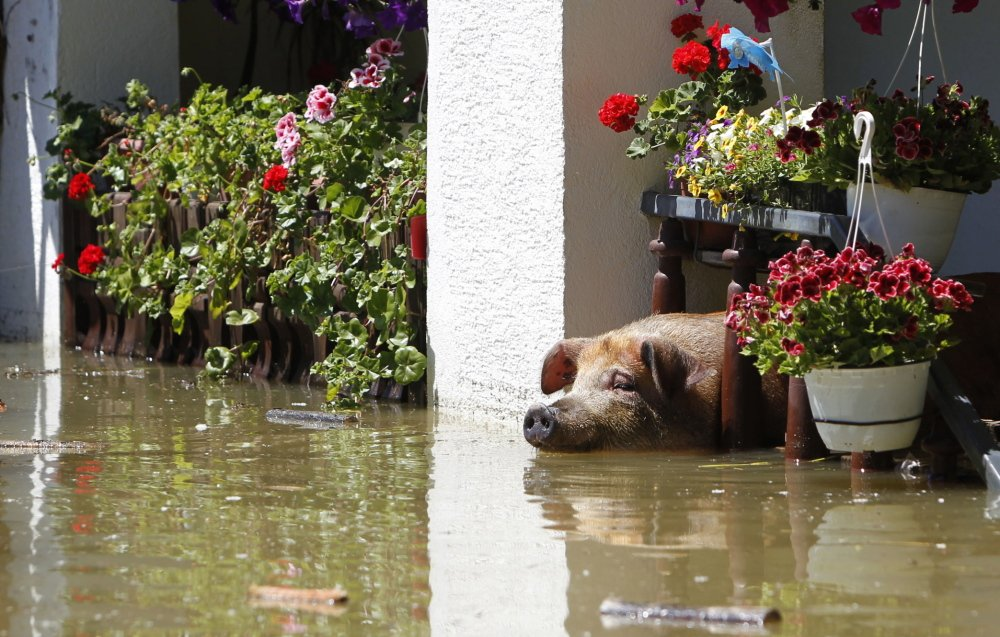 The heavy flooding left this pig stranded in Vojskova, Bosnia. Many farm animals have died in the deluge and landslides.