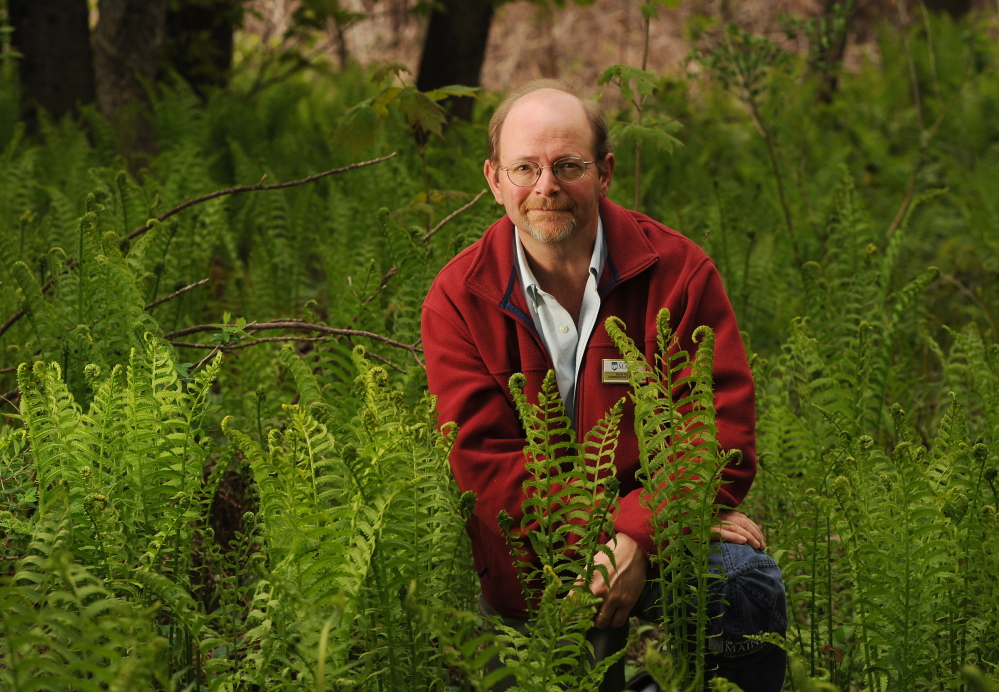 Dave Fuller, at home in a field of ostrich fern (Mattecuccia struthiopteris) fiddleheads.