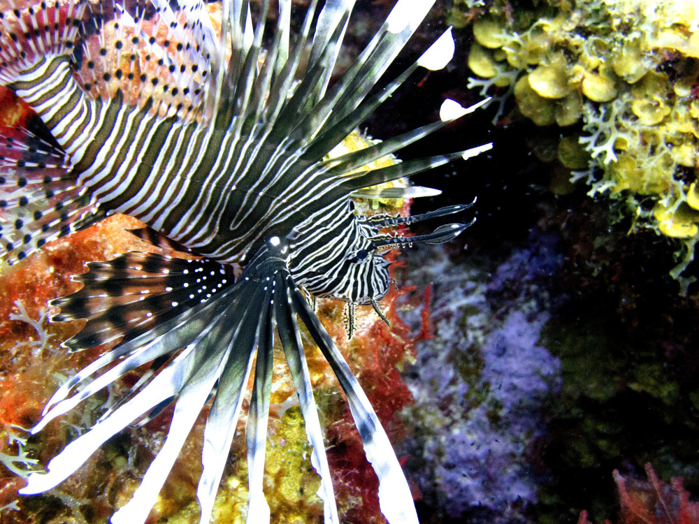 A lionfish swims near coral off the Caribbean island of Bonaire. The effort to turn lionfish into a menu item appears to be working but demand seems to be outpacing the supply.
