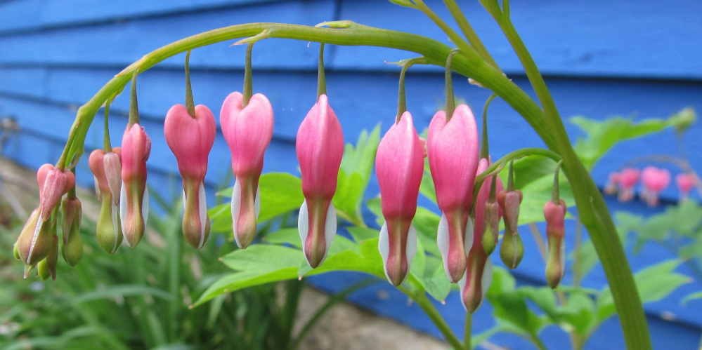 Bleeding hearts that can be appreciated by folks of any political persuasion are growing in Dianne Corbin's Newfield yard. With cool, moist weather pretty much the rule this spring, it could be a bumper year for the pink beauties.