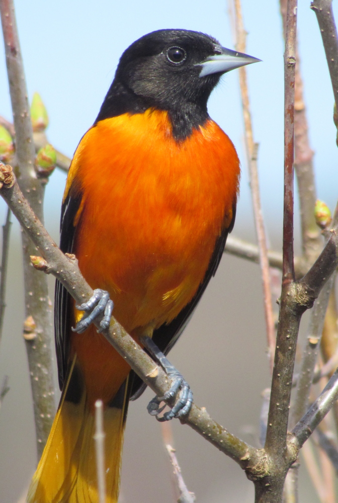 Eat your heart out, Jim Palmer. There's no more handsome Baltimore Oriole than this one in Tina Richard's Clinton yard.