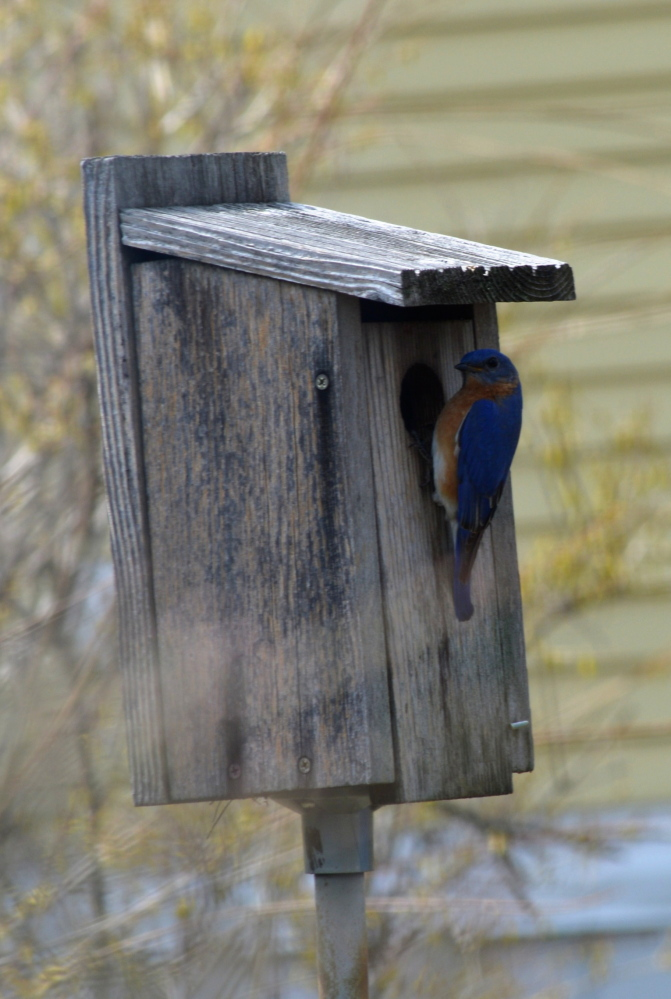 Home sweet home? This blue bird probably would prefere home suet home, but it'll still settle in Karen Edwards' Dover, N.H., yard.