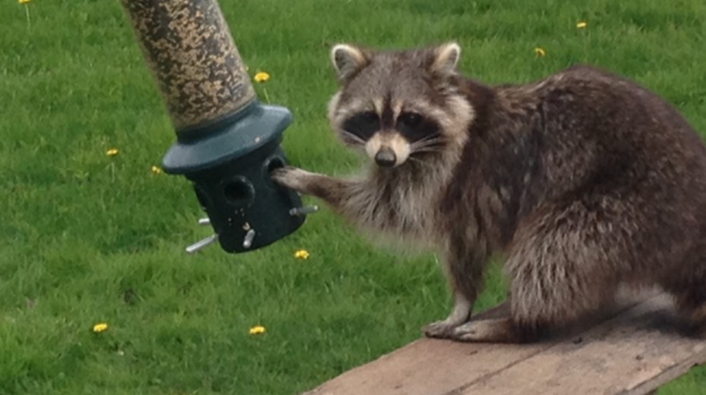 Oh well, that feeder should be empty by now, as late spring is when the birds should fend for themselves. So who can begrudge this masked bandit getting a free feed on Gordon Glover's grounds in Freeport, where pal Ken Toner had his camera handy.