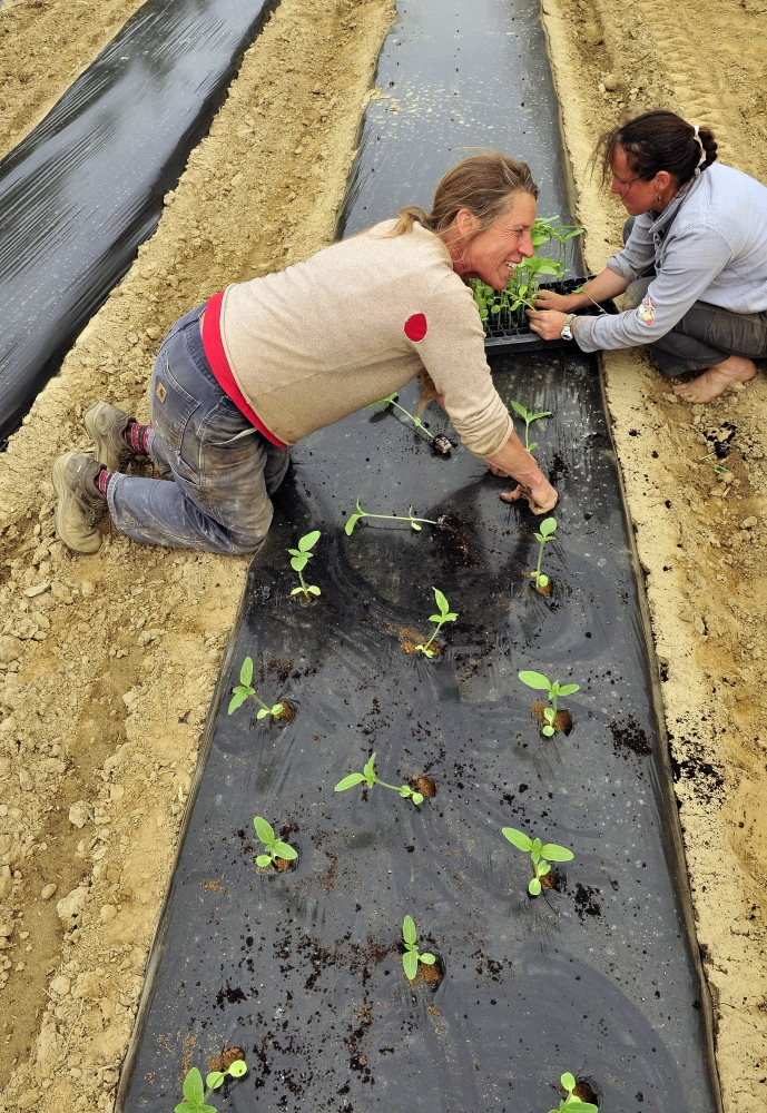 DRESDEN, ME - MAY 15: Jan Goranson. left, and Dalziel Lewis transplant seedlings on Thursday May 15, 2014 at Goranson Farm in Dresden. (Photo by Joe Phelan/Staff Photographer)