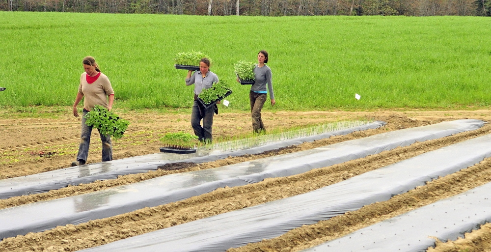 Jan Goranson, left, Dalziel Lewis and Jillian Brown prepare to transplant seedlings that were started in a greenhouse out in a field in mid-May at Goranson Farm in Dresden. Photos by Joe Phelan/Staff Photographer