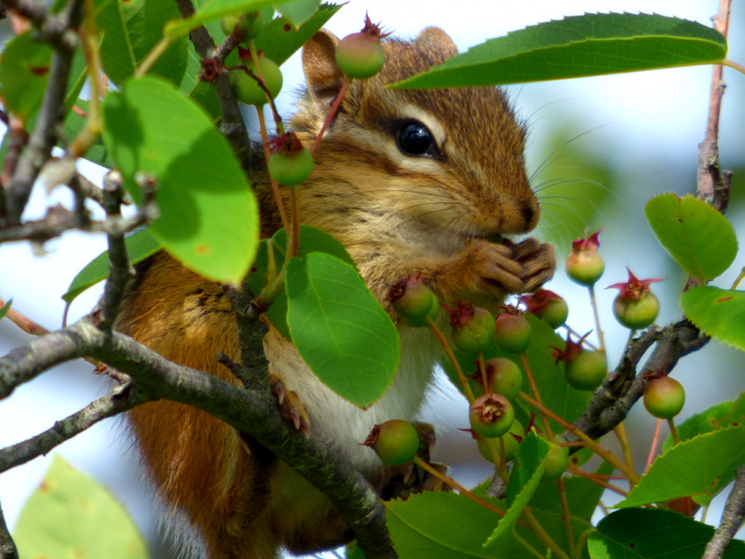 Found this chipmunk competing with birds for some early berries at Timber Point in Biddeford. Thanks, Brad Woodward 2 Ryefield Drive #18 Old Orchard Beach
