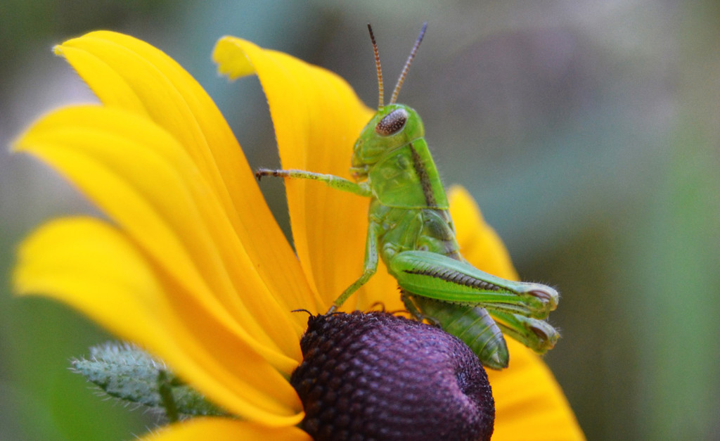:Colors clash as a grasshopper rests atop a brown-eyed susan in Brian Lovering's yard in North Yarmouth. Still an impressive fashion statement.