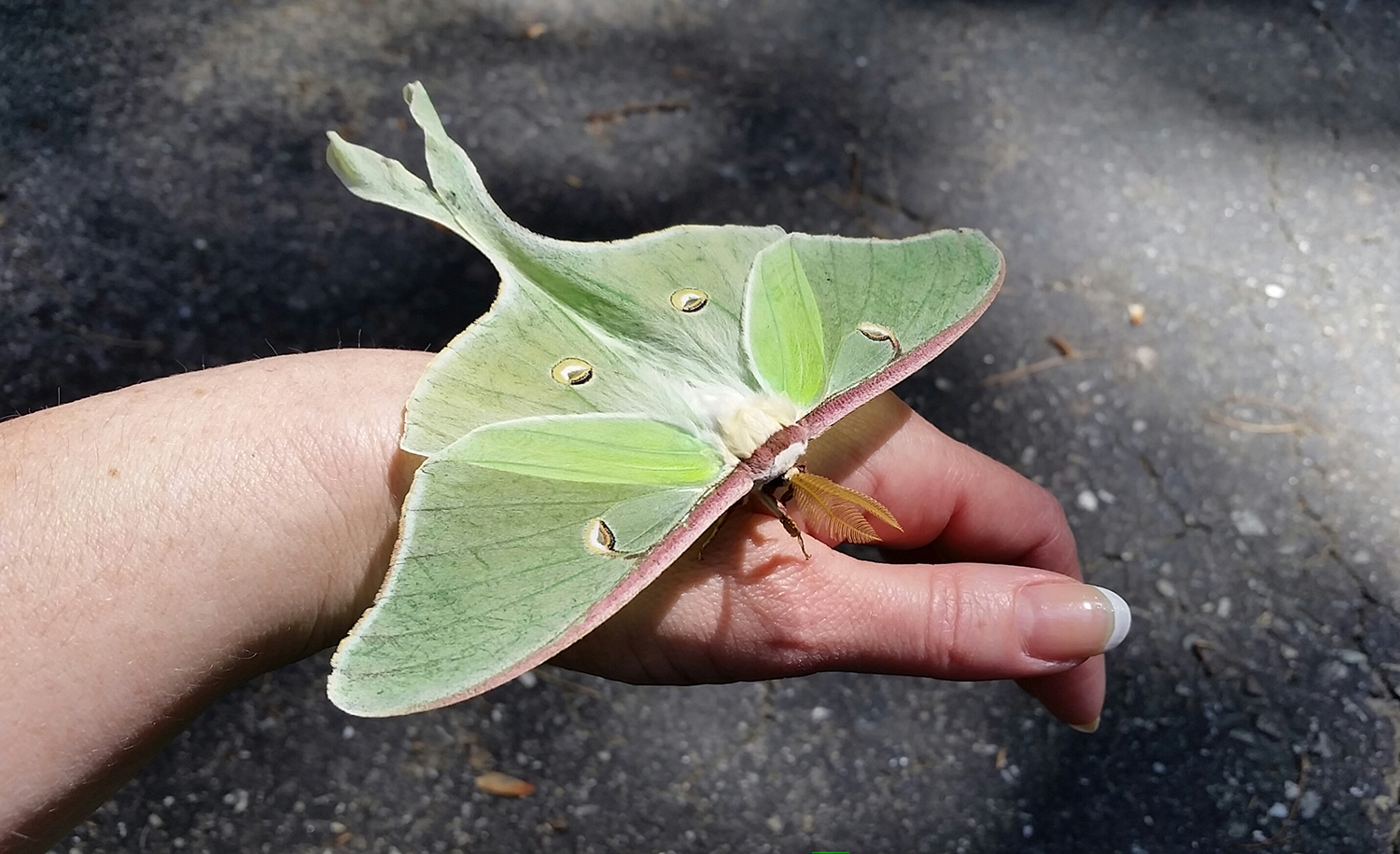 A luna moth took a liking to young Johanna Barne during a family gathering on July 4 in Newcastle. With her other hand, she took the photo with a Samsung phone.