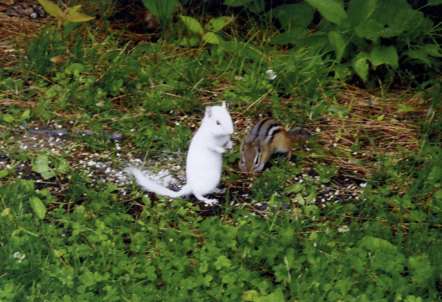 These chipmunks could be cousins, but who knows. They certainly are having fun foraging in the Casco yard of Curtis Delaney.