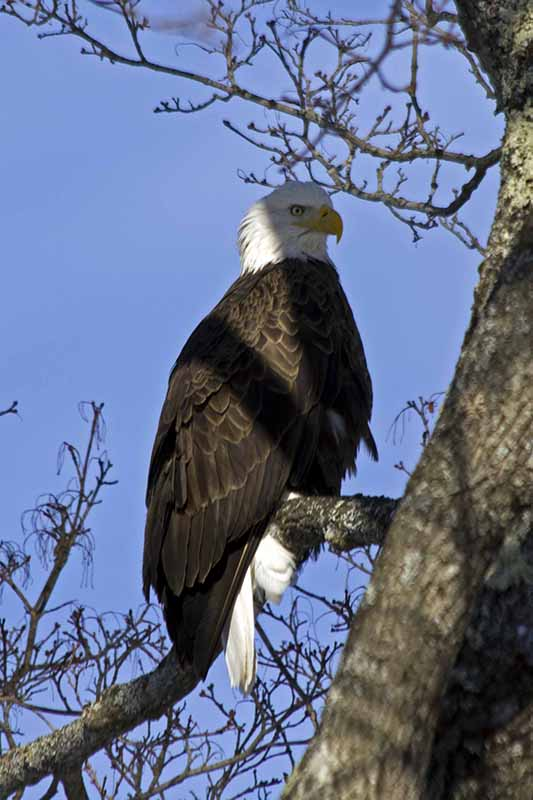 Bald eagle perched at Riverside Park in Westbrook. Jeffrey Wilson, Westbrook.