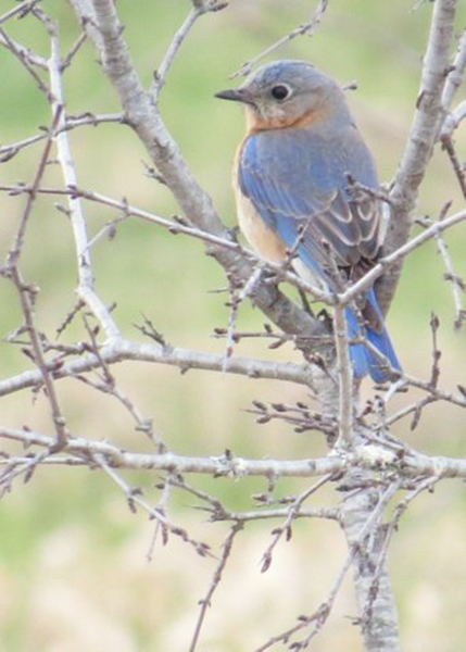 Bluebird perched in a tree in South Berwick. Photo by Joy Page of South Berwick
