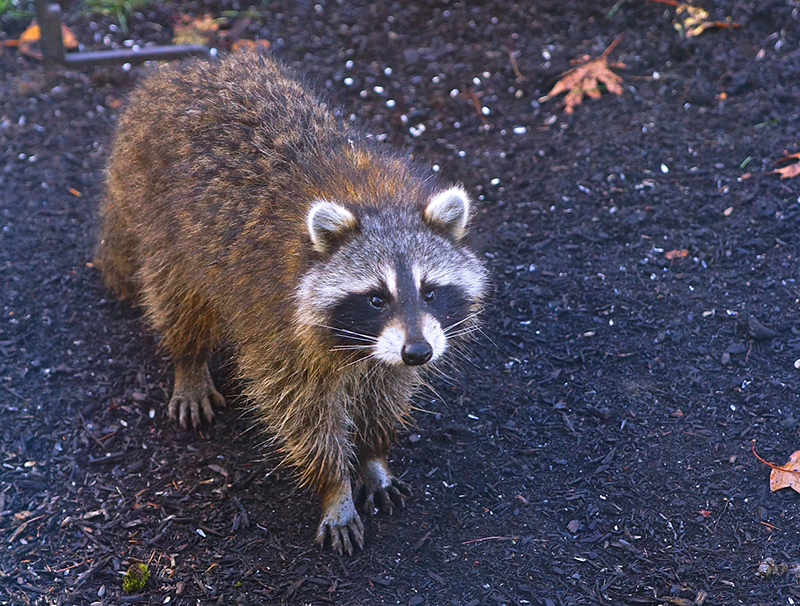 This young Racoon was looking for food way past the usual feeding time. Craig Robinson, Gorham.