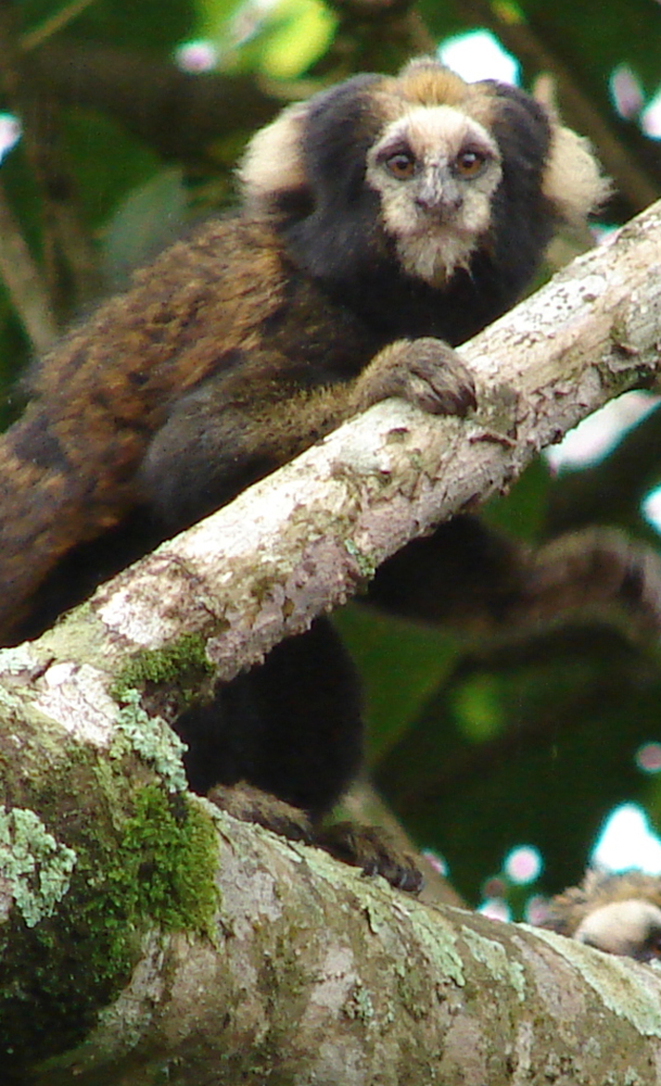 But the buff-tufted-ear marmoset is being crowded out by a competing species.