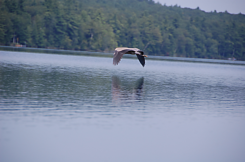 I spotted the heron in the woods while kayaking on Moose Pond. Jane Brown, Otisfield.