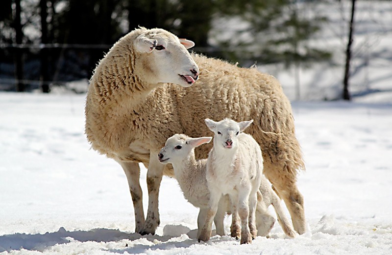 A pair of week-old lambs and their mama at Wild Meadow Farm in Saco. Photo by Julie Bernier, South Portland.