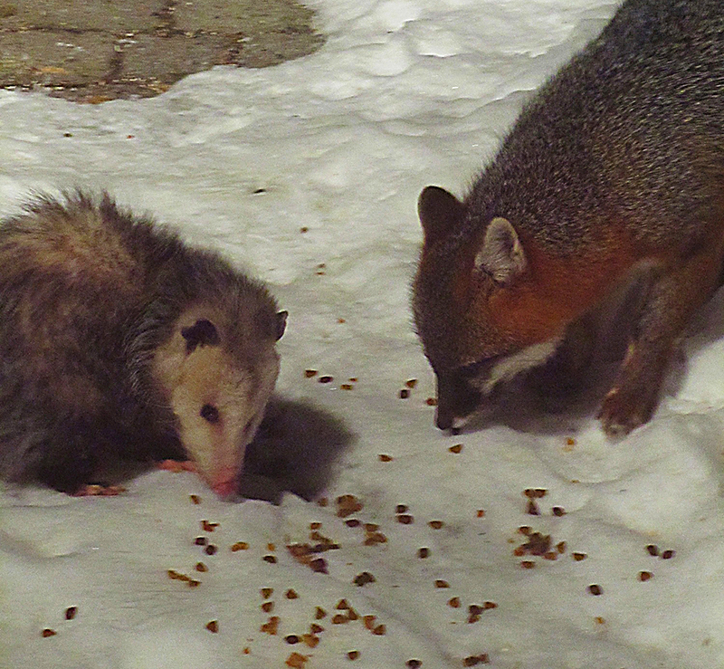 An opossum and fox dine together out on Cousins Island in Yarmouth. Photo by Alice Ingraham, Yarmouth.