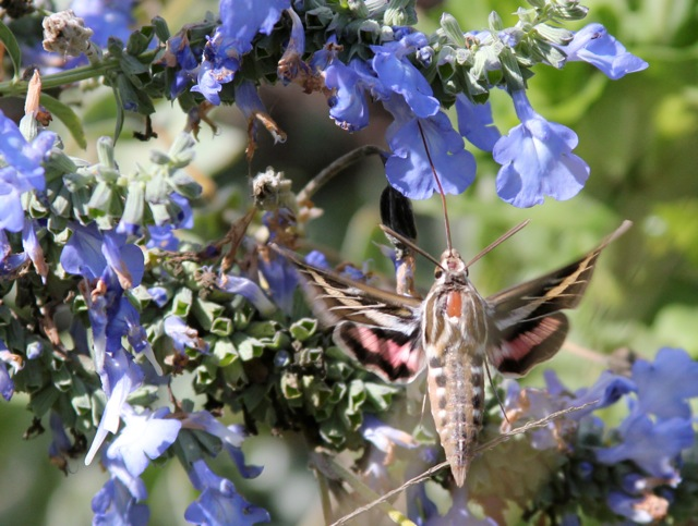 I was able to stop the action of this hummingbird moth as it hovered at a flower to feed. Sue Bonzey, Dedham.