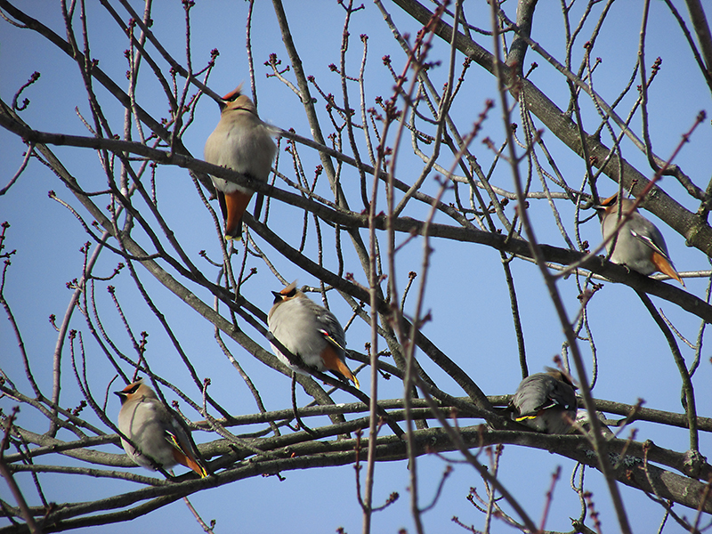 Birds resting in a tree on Presque Isle. Photo by Marla Longley of Presque Isle.