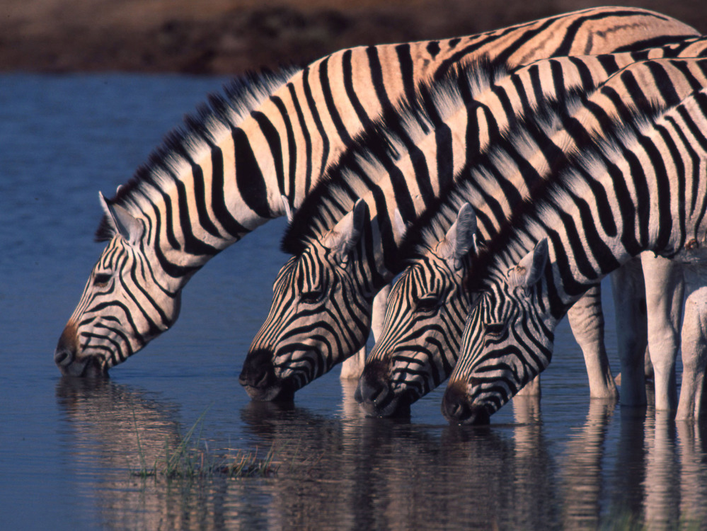 Zebra are seen at a watering hole in northern Namibia. Their newfound migration is a rare bright spot at a time when mass movements of wildlife are disappearing. The Associated Press/World Wildlife Fund International