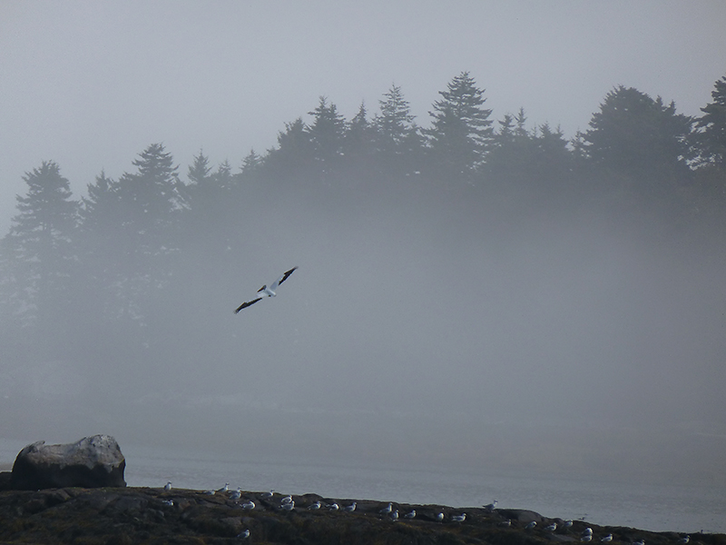 American White Pelican in flight on a foggy morn at Spruce Head. Photo by Judy Barstow, Sanford.