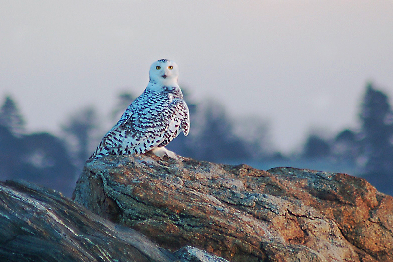 Snowy owl rests on a rock at Pine Point. Photo by Chris MacKenzie, Pine Point.